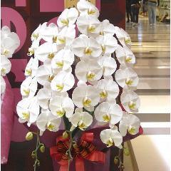 ★胡蝶蘭(白3F)★大阪市阿倍野区当店より丁寧に直接お届けします。母の日・御祝い事・開店祝い・周年祝い・引越し祝い・新築祝い・誕生日に
