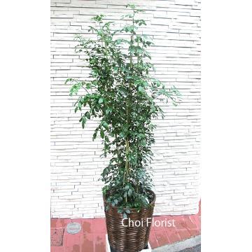 <フジテレビフラワーネット> ゲッキツ 観葉植物 PL636画像