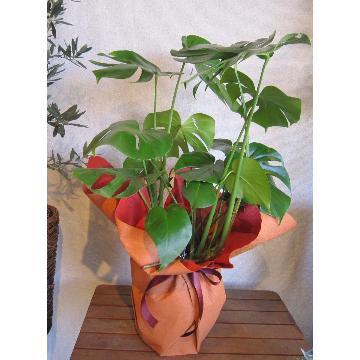 <フジテレビフラワーネット> 管理がとても楽な観葉植物 モンステラ鉢 90cm前後画像