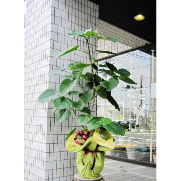 ハートの葉が愛らしく育てやすい観葉植物 ウンベラータ