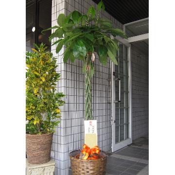 育てやすい観葉植物 パキラ(バスケット付き)