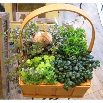 <フジテレビフラワーネット> Petit bonhuer(プティ ボヌール 小さな幸せ)観葉植物と「エスコバ」の寄せ鉢画像