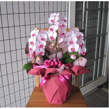 ミディー胡蝶蘭 ピンク系 「お任せピンク系」 3本立