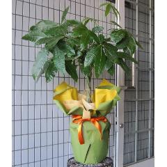 育てやすい観葉植物 パキラ