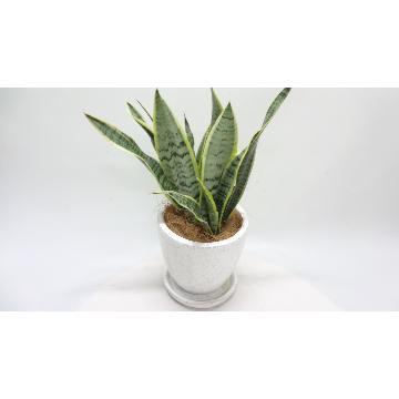 <フジテレビフラワーネット> 空気清浄化植物♪ サンセベリア陶器鉢画像