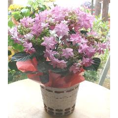 送料込母の日鉢花【あじさいダンスパティー】星のようなかわいらしい花型P−33