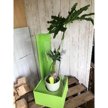 <フジテレビフラワーネット> 観葉植物 セローム画像