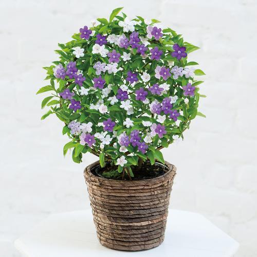 バンマツリ 花 言葉 ニオイ ニオイバンマツリの花言葉|花の特徴は?香りは夜に強くなる?|🍀GreenSnap(グリーンスナップ)